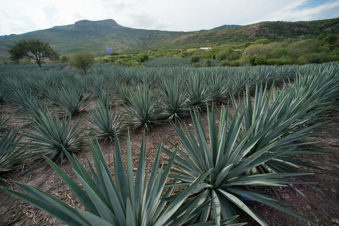 MAGUEY 03
