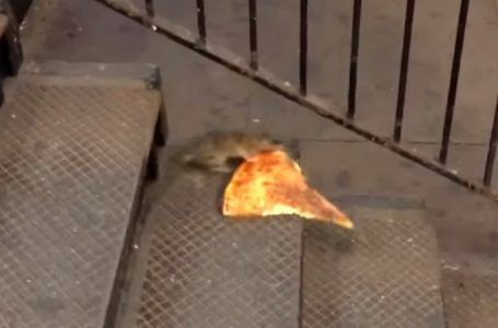 VIDEO: Rata carga enorme trozo de pizza