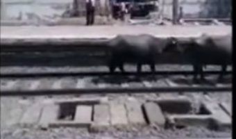 VIDEO: Tren embiste a rebaño de vacas en India