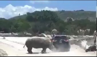VIDEO: Rinoceronte ataca camioneta en Africam Safari de Puebla